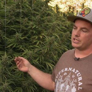 Cannabis Breeding Tips & Techniques for Select Traits: Mean Gene / Green Flower