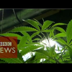 Could cannabis oil cure cancer? BBC News