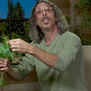 "Cannabis Super-Cropping: Kyle Kushman's ""Chiropractic"" Plant Training Method / Green Flower"