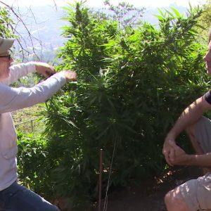 Training Your Cannabis Plants: Expert Techniques / Mel Frank's Private Garden / Green Flower