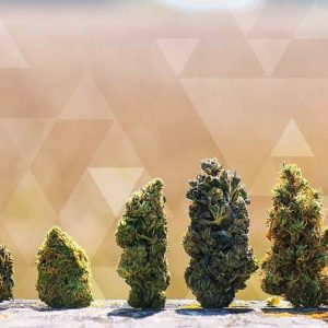Are Cannabis Strains Obsolete? How Cannabis Has Changed Over Time:  Joe Dolce / Green Flower Media