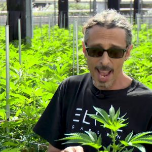 Cannabis Trimming, Training & Pruning: Kyle Kushman / Green Flower Cannabis Cultivation Course