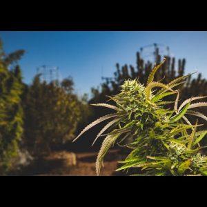 Growing Trees from Cannabis Clones / Pete Pietrangeli & Tyler Trudeau / Green Flower
